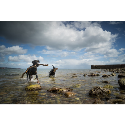 Two Dobermanns.  Babbacombe Beach