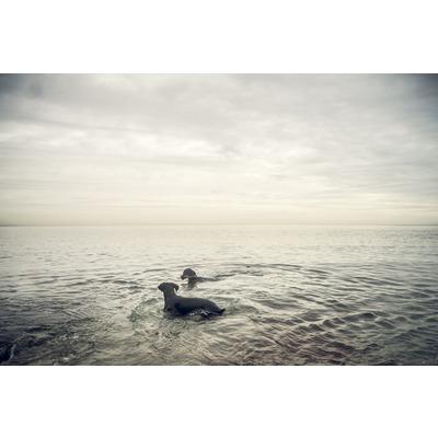 Dobermanns. Oddicombe Beach, S Devon