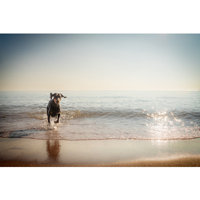 Dobermann, Babbacombe Beach, S. Devon